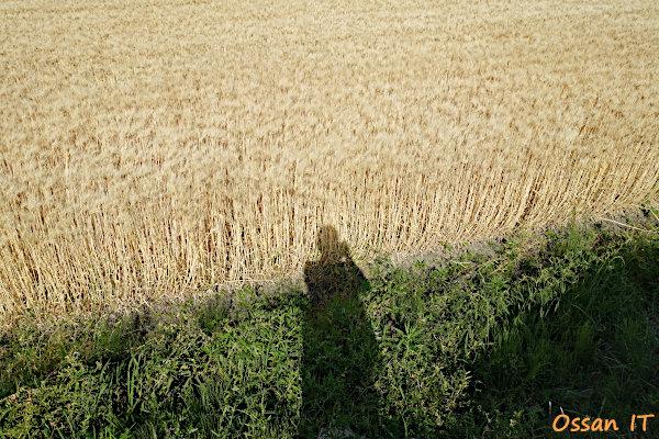 高島市の麦畑にて