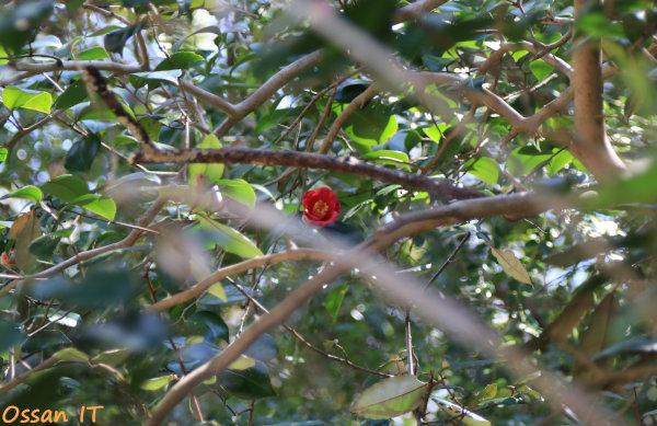久しぶりに宝塚の清荒神へ行ってきた、清荒神参道脇の椿、EF24-105