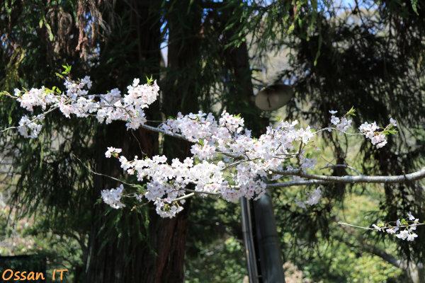 久しぶりに宝塚の清荒神へ行ってきた、清荒神参道脇の桜、EF24-105